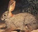 Riverine rabbit