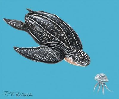 tortuga laud Dermochelys coriacea