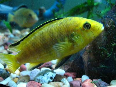 Electric yellow cichlid . Golden algae eater  .. Black ghost.