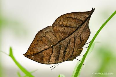Бабочка-листик