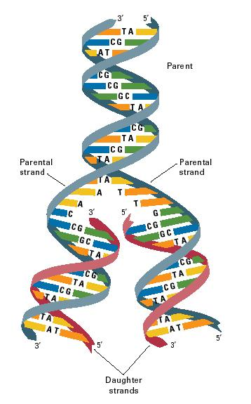 Leading and lagging strands in DNA replication