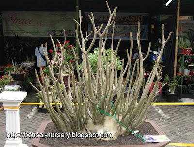 Sansevieria   anthurium   adenium   flower   gaerdening: Jun