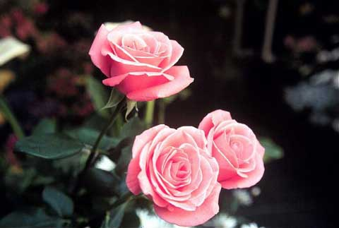Nel Mondo Di Krilu Proverbi Sulle Rose
