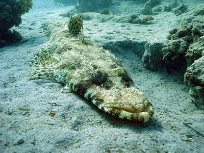 northern squawfish fish index crocodilefish cymbacephalus beauforti