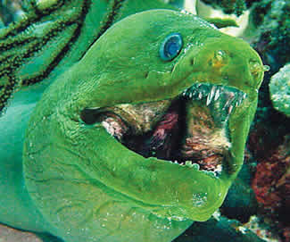 Green moray eel with open mouth.