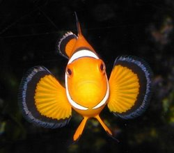 Clownfish - Finding Who?