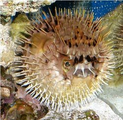 Porcupine Puffer - Can Inflate Its Body With Water To Appear Larger
