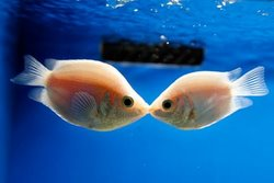 Kissing Gourami Fish