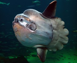 Weird Fish Of The Month - Mola Mola