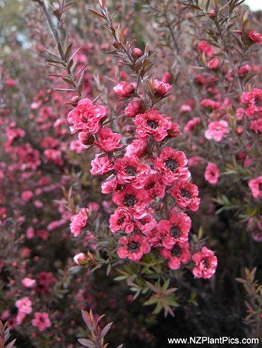 Sunny Garden Service Leptospermum Scoparium Cultivars