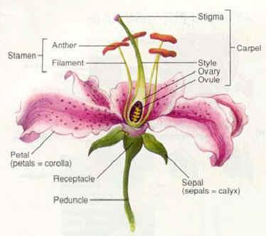 Ongzi S Secretgarden Basic About Flower Morphology