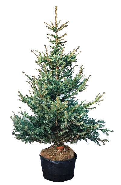 Plant Preview: To Choose a Living Christmas Tree, Think ...
