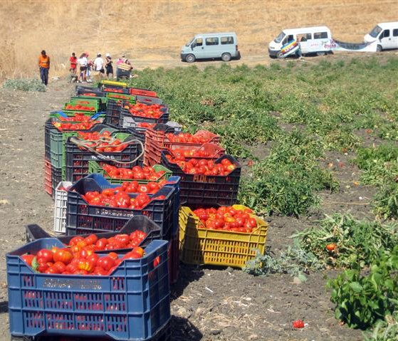 picking heirloom tomatoes