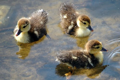Stars Animals Wallpapers Photos Ducklings Hatching