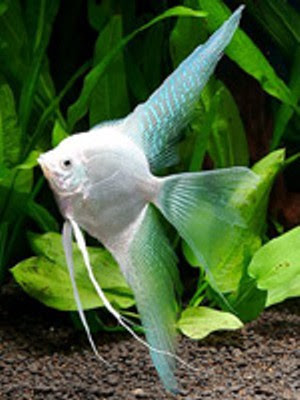 Stars Photos Animals Wallpapers Cute Marble Angelfish