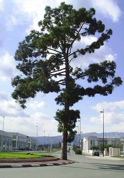 Pi canari (Pinus canariensis) Gandia. Rotonda Almoines-Vilallonga