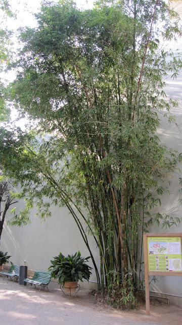 Canya de bambú (Bambusa sp.)