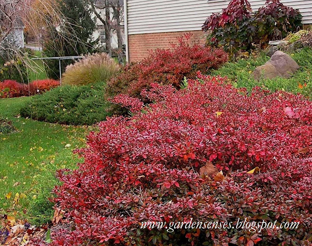 garden sense fall color - shrubs