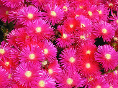 Resultado de imagen para Mesembryanthemum roseum: