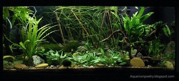 My Aquarium Scapes 160 Liters Planted Low Light Aquarium