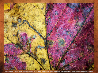 Both Ways (Split Leaf) (c) Copyright 2009 Christopher V. DeRobertis. All rights reserved. insilentpassage.com