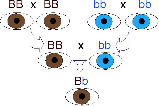 If You Ever Took Basic Biology In School May Remember The Eye Color Meme As An Example Of Mendelian Genetics We Have Two Copies Each