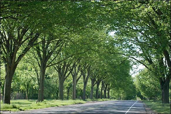 Princeton Elm trees on Washington Blvd