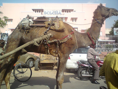 A camel at the traffic signal on the streets of Jaipur
