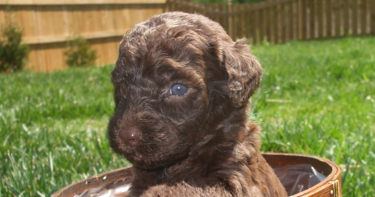 Very Cute Labradoodle Puppy Outside Labradoodle