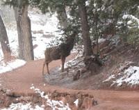 bull on Zion trail