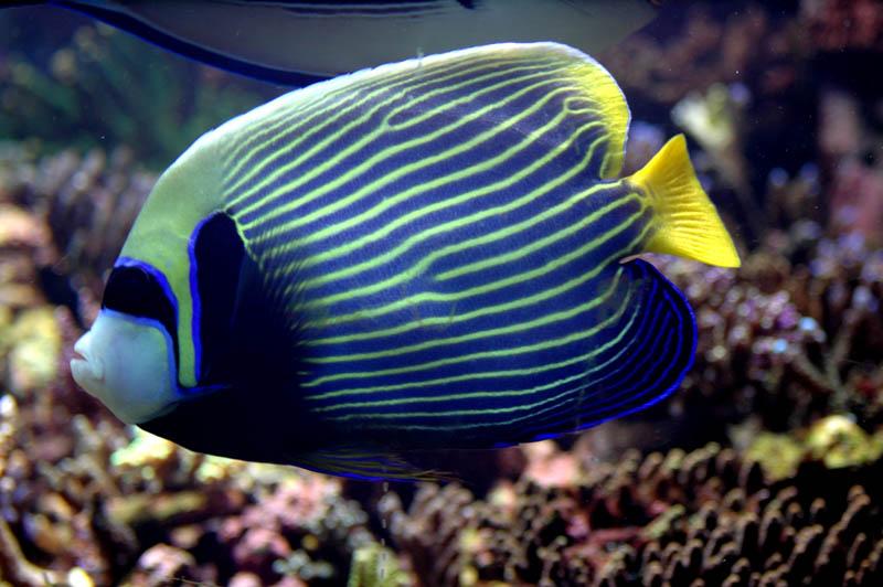 Jenis Ikan Laut Dangkal