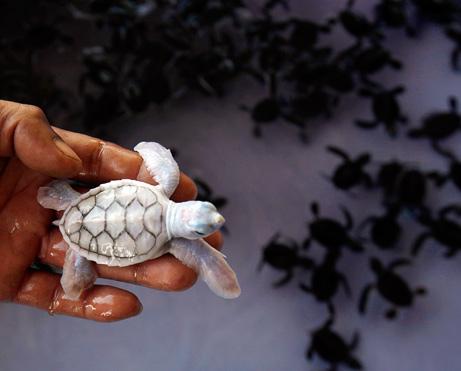 Cute Baby Albino Sea Turtle