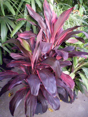 Plants Are The Strangest People List Houseplants With Totally Or Partially Pink Leaves