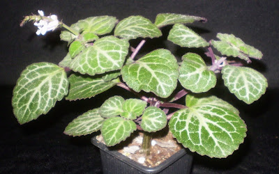 Plants are the Strangest People: List: Houseplants With ... on mint furry leaf plant, fuzzy ball plant, fuzzy leaf ground cover, purple fuzzy leaf plant, fuzzy leaf fern, fuzzy leaf tree, large fuzzy leafed plant, green fuzzy plant, fuzzy leaf weed, fuzzy leaf perennials, fiddle leaf fig plant, fuzzy lamb's ear plant, pandan plant, fuzzy leaf vegetable, fuzzy grass plant, fuzzy leaved plants, fuzzy leaf pink flowers,