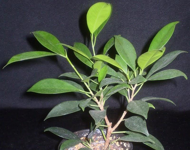 Ficus Microcarpa Comment Decorer Le Pot