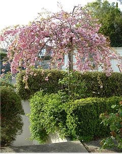 Alison's flowering cherry