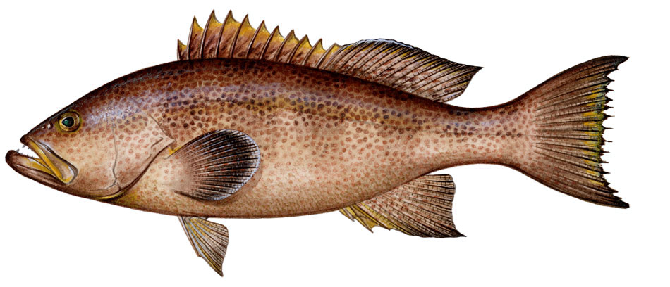Sharkbait: Yellowmouth Grouper