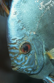Discus Fish: Discus are having Hole in the Head disease !