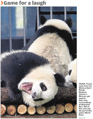 ad3924a90 Panda cubs settle in at Shanghai Zoo