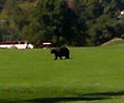bear crossing golf course close-up