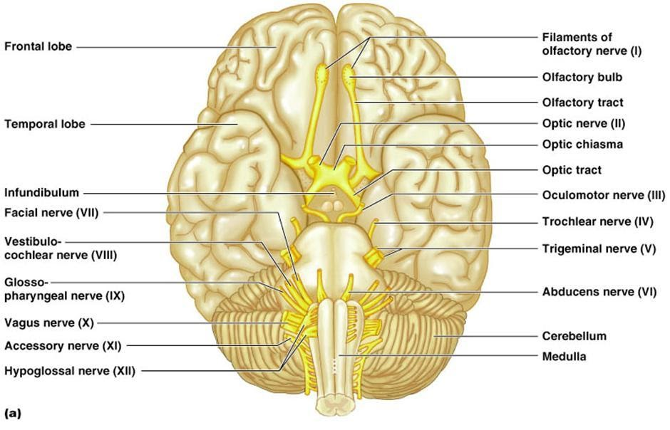 Nerves Anatomy Cranial Labeling
