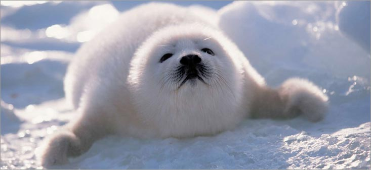 Cute Seal Wallpaper Edge Of The Plank Cute Animals Baby Harp Seals