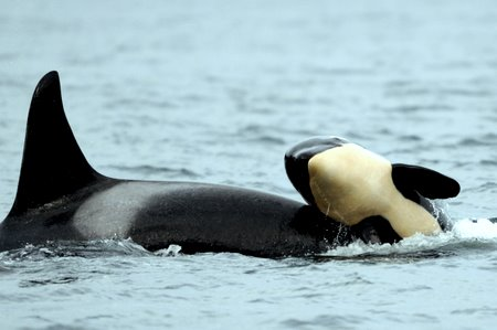 Edge Of The Plank: Cute Animals: Killer Whales (Orca)