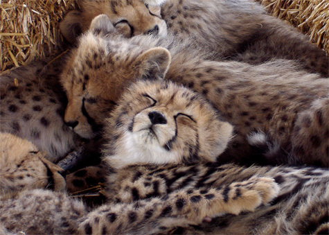 Edge Of The Plank: Cute Animals: Baby Cheetah Cubs