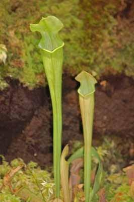 g teborg tag f r tag fleischfressende pflanzen im botanischen garten in g teborg. Black Bedroom Furniture Sets. Home Design Ideas