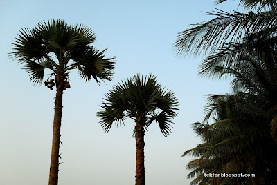 Coconut trees and Palmyra trees.