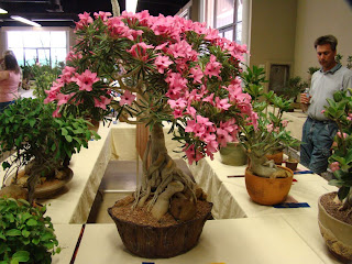 cangkok Adenium ( sorry i can't find the meaning of cangkok)