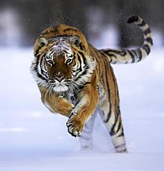 harimau yang pupus