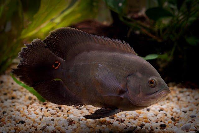 lemon oscar fish - photo #34