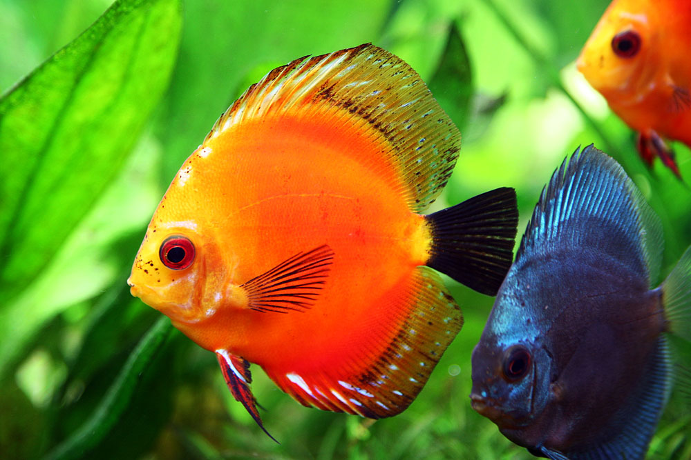Discus Fish The King Of Aquarium Exotic Tropical Ornamental Fish
